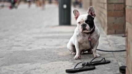 Bronte-Boardwalk dog