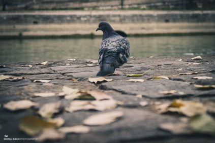 Cliché Parisian pidgeon